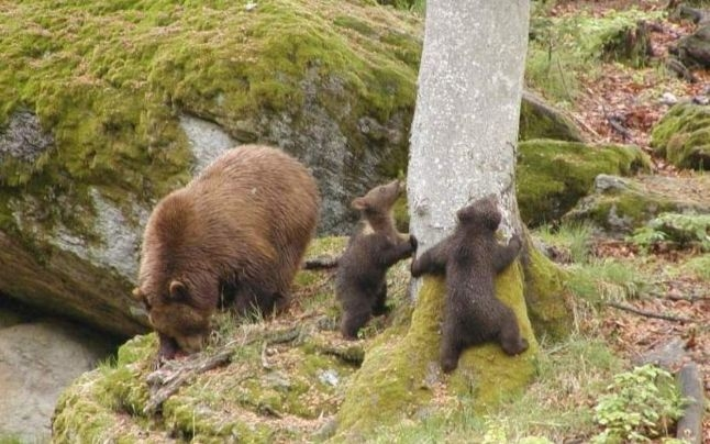 Urşii de pe Poenari vor fi mutaţi. Manu explică