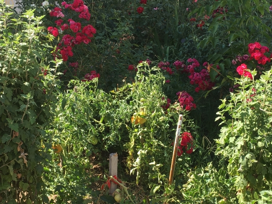 Roşii printre trandafirii de la bloc