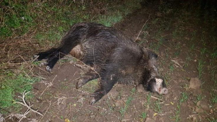 Alertă! Mistreţ găsit mort în pădurea Trivale!