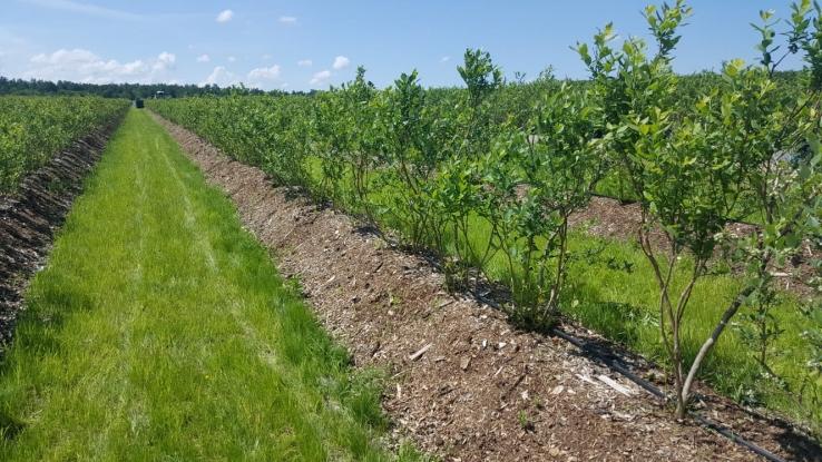 O firmă face plantaţie de afini la Popeşti