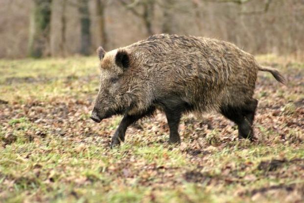 Focare noi de pestă porcină!