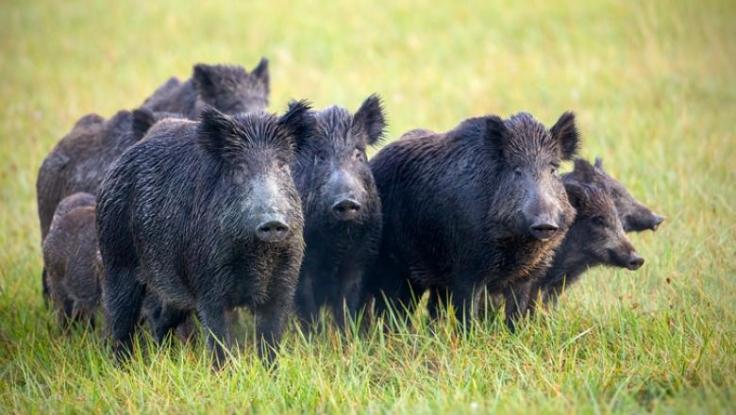 În județul Argeș mai sunt active doar focare de pestă porcină la mistreți