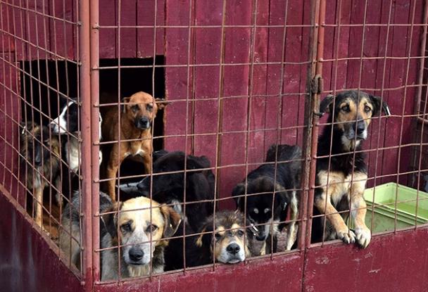 ANSVSA începe controale la adăposturile publice pentru câini