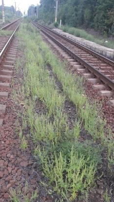 Argeș: Urmează acțiuni de erbicidare împotriva ambroziei în zona căii ferate!