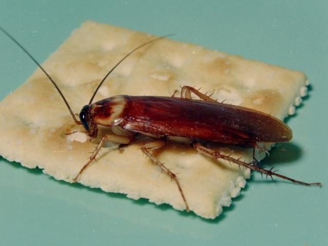 """Natural şi eficient. Alungă gândacii de bucătărie cu """"o gustare"""" din cartofi fierţi!"""