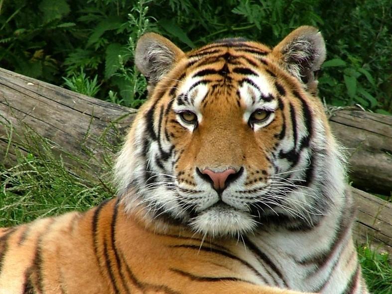 VIDEO: Vezi ce face tigrul de la Grădina Zoologică din Trivale!