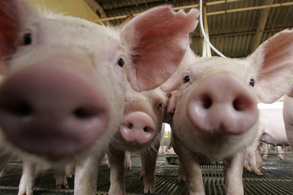 Avertizare de pestă porcină