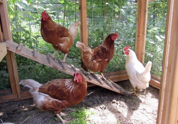 Coteţe de găini printre blocurile din Piteşti