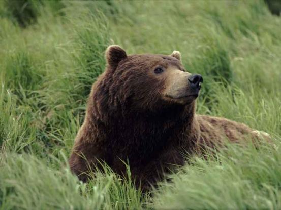 Urşii şi mistreţii, cei mai mari dăunători în Argeş