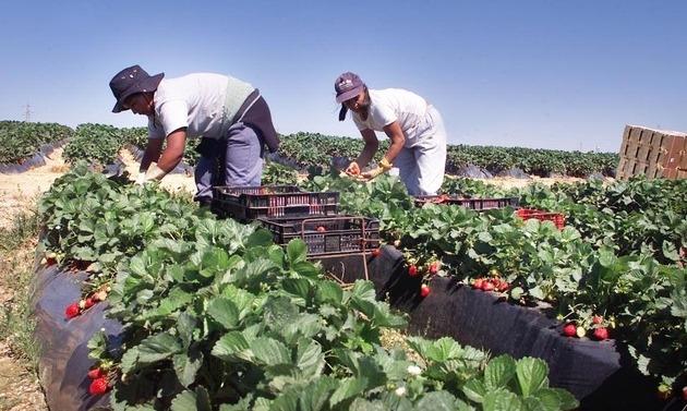 Spaniolii îi vor la muncă pe căpșunarii români