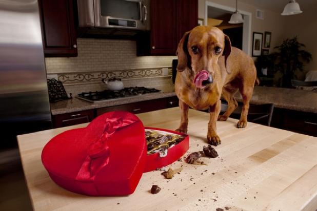 Intoxicaţia cu ciocolată la căţei