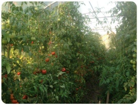 Sprijin financiar pentru producătorii de tomate