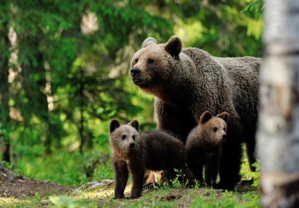 O ursoaică şi trei pui terorizează comuna Coşeşti