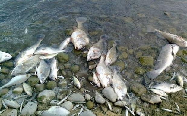 Peşti morţi pe râul Bratia!