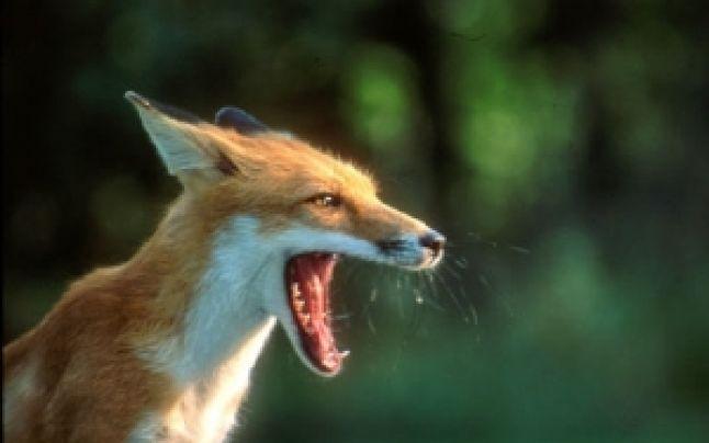 Campanie de vaccinare antirabică la vulpile din Argeş