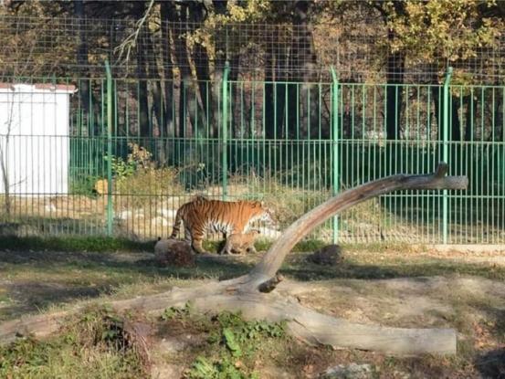 Se caută nume pentru un pui de tigru de la Zoo Piteşti!