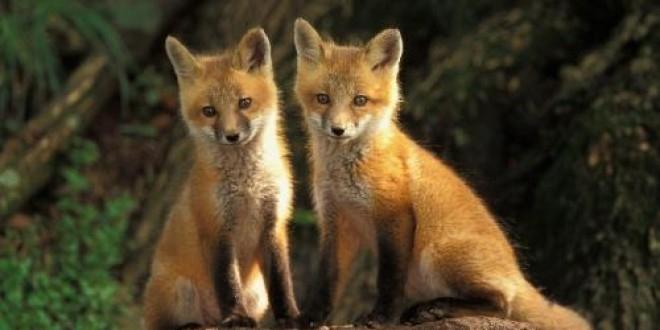 Vaccinare antirabică la vulpile din Argeş